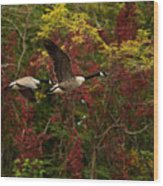 Canada Geese In Autumn Wood Print