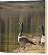 Canada Geese In Golden Sunlight Wood Print