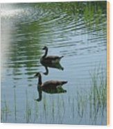 Canada Geese Swimming By Fountain Wood Print