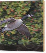 Canada Goose Landing Wood Print