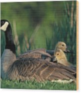 Canada Goose With Goslings Wood Print by Alan and Sandy Carey and Photo Researchers
