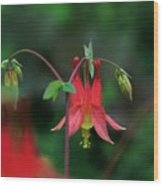 Canadian Columbine Wood Print