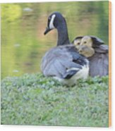Canadian Goose Mother And Babies Wood Print