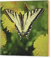 Canadian Swallowtail Butterfly Wood Print