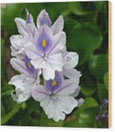 Candlelight Water Hyacinth Bloom Wood Print