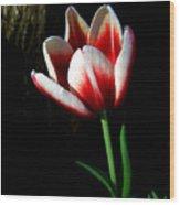 Candy Cane Tulip Wood Print
