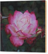Candy Care Cocktail Floribunda Rose- Digital Art Wood Print