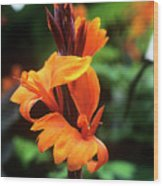 Canna Lily 'roi Humbert' Wood Print by Adrian Thomas