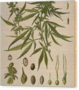 Cannabis Sativa  Wood Print