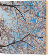 Canopy Of Cherry Blossoms Wood Print