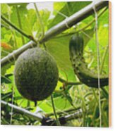 Cantaloupe And Hanging On Tree 1 Wood Print