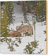 Canyon Wolf On Elk Kill Wood Print