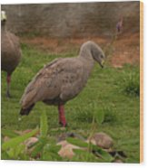 Cape Barren Geese Facing Right Wood Print