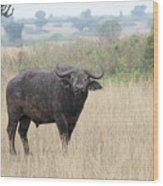 Cape Buffalo Eating Grass In Queen Elizabeth National Park, Ugan Wood Print