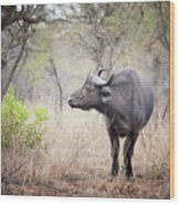 Cape Buffalo In A Clearing Wood Print