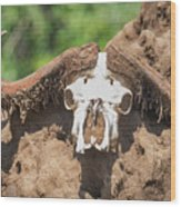 Cape Buffalo Skull Wood Print