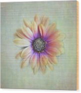 Cape Daisy Looking Up Wood Print