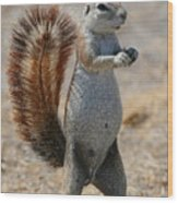 Cape Ground-squirrel  Wood Print