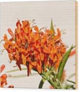 Cape Honeysuckle - The Autumn Bloomer Wood Print