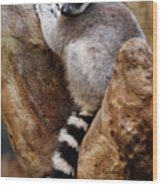Captive Ring Tailed Lemur Perched In A Stone Tree Wood Print