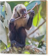 Capuchin Monkey Chewing On A Stick Wood Print