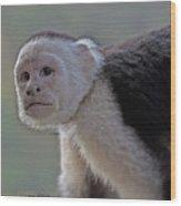 Capuchin Monkey Wood Print