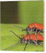 Cardinal Beetle  Wood Print