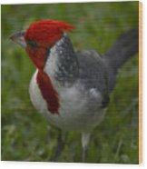 Cardinal Grazing In Grass Wood Print