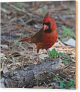 Cardinal In Charge Wood Print by Julie Cameron