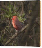 Cardinal In The Spotlight Wood Print