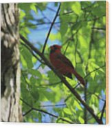 Cardinal In The Springtime Wood Print