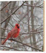 Cardinal In The Winter Wood Print