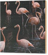 Caribbean Flamingoes At The Sedgwick Wood Print by Joel Sartore
