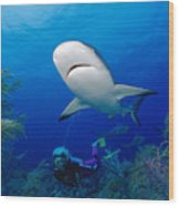 Caribbean Reef Shark Wood Print by Dave Fleetham - Printscapes