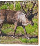 Caribou Antlers In Velvet Wood Print