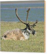 Caribou Resting Wood Print