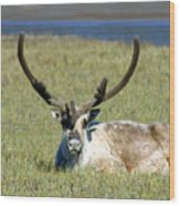 Caribou Resting In Tundra Grass Wood Print