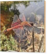 Carolina Saddlebag Dragonfly Wood Print