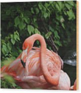 Carribean Flamingo Bird Ruffling His Feathers Wood Print