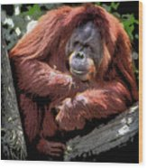 Cartoon Comic Style Orangutan Sitting In Tree Fork Wood Print