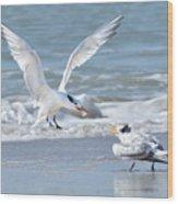 Caspian Tern Feeding Young Wood Print