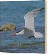 Caspian Tern Wood Print by Tony Brown