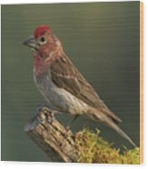Cassin's Finch Wood Print
