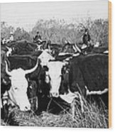 Cattle: Longhorns Wood Print