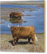 Cattle Scottish Highlanders, Zuid Kennemerland, Netherlands Wood Print