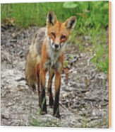 Cautious But Curious Red Fox Portrait Wood Print