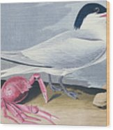 Cayenne Tern Wood Print by John James Audubon