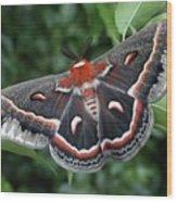 Cecropia Moth  Wood Print