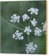 Cedar Park Texas Hedge Parsley Wood Print