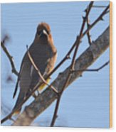 Cedar Wax Wing On The Lookout Wood Print